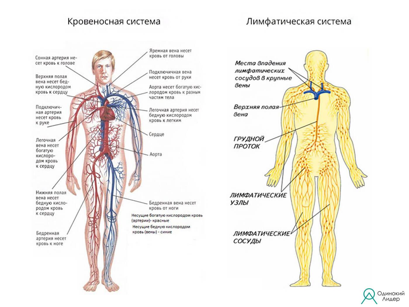 Сравнение крово. и лимфа. систем.